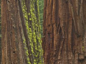 Giant Sequoia Trees with Mossy Bark, Yosemite National Park, California by Momatiuk - Eastcott