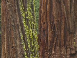Giant Sequoia Trees with Mossy Bark, Yosemite National Park, California by Momatiuk - Eastcott