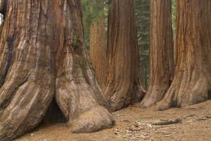 Giant Sequoia Trees, Yosemite National Park, California by Momatiuk - Eastcott