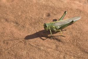 Grasshopper on Sandstone Plateau in Grand Canyon National Park by Momatiuk - Eastcott