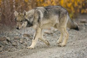 Gray Wolf Pup on Gravel Road by Momatiuk - Eastcott