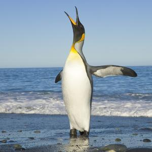 King Penguin Coming out of Sea by Momatiuk - Eastcott
