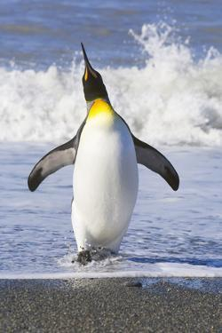 King Penguin Walking out of Sea by Momatiuk - Eastcott
