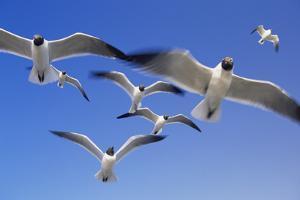 Laughing Gulls Flock in Flight by Momatiuk - Eastcott