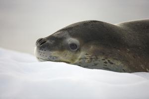 Leopard Seal Resting on Ice by Momatiuk - Eastcott