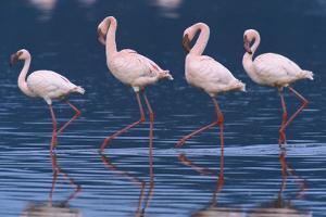 Lesser Flamingos by Momatiuk - Eastcott