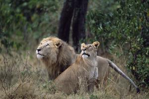 Lion and Lioness Watching Birds by Momatiuk - Eastcott