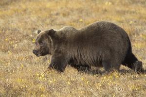 Male Grizzly Bear Walking toward Caribou Carcass by Momatiuk - Eastcott