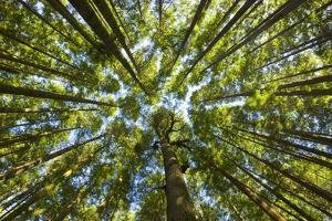 Old Growth Cedar, Hemlock, Fir and Sitka Spruce Forest in Fall by Momatiuk - Eastcott