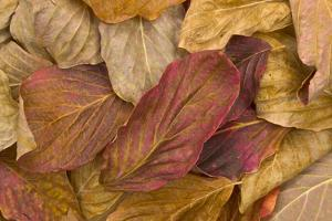 Pacific Dogwood Leaves in Fall by Momatiuk - Eastcott