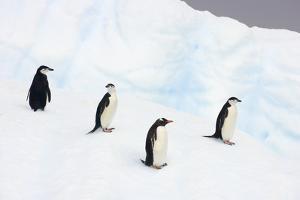 Penguins Standing on Iceberg by Momatiuk - Eastcott