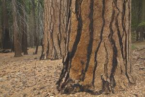 Ponderosa Pine Trunks after Forest Fire, Yosemite National Park, California by Momatiuk - Eastcott