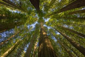 Redwood Forest in Humboldt Redwood State Park by Momatiuk - Eastcott