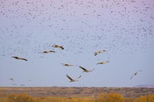 Sandhill Cranes in Flight with Red Winged Blackbirds by Momatiuk - Eastcott