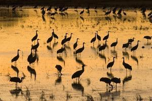Sandhill Cranes Standing and Feeding in Shallow Pond by Momatiuk - Eastcott