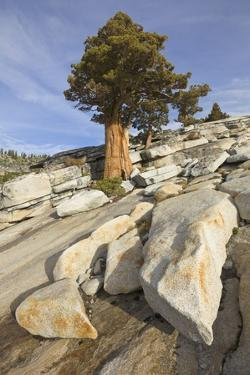Smooth Granite Slabs, Boulders and Western Juniper Tree, Yosemite National Park, California by Momatiuk - Eastcott