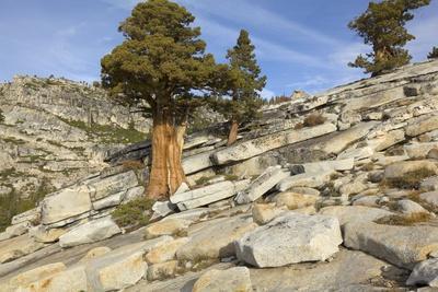 Smooth Granite Slabs, Boulders and Western Juniper Tree, Yosemite National Park, California