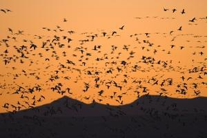Snow Geese Flying to Roost in Shallow Pond by Momatiuk - Eastcott