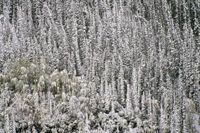 Snow on Coniferous Forest by Momatiuk - Eastcott