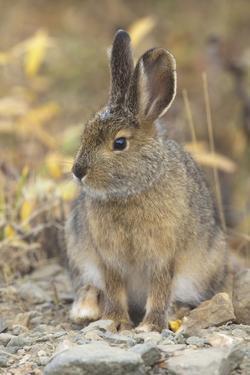Snowshoe Hare in Denali National Park by Momatiuk - Eastcott