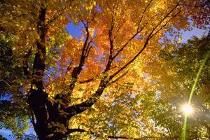 Sunlight Shining through Sugar Maple Leaf Canopy by Momatiuk - Eastcott