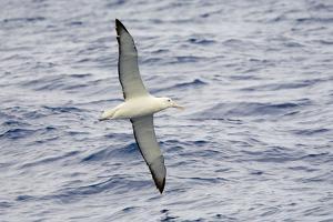 Wandering Albatross Flying above Sea by Momatiuk - Eastcott
