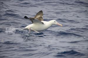Wandering Albatross Running to Take Off by Momatiuk - Eastcott