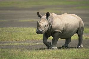 White Rhinoceros Walking by Momatiuk - Eastcott