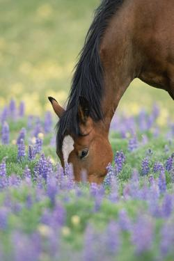 Wild Stallion Grazing in Flowers by Momatiuk - Eastcott