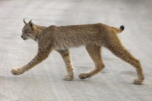 Young Lynx Crossing Road in Denali National Park by Momatiuk - Eastcott