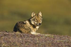 Young Wolf Resting on Tundra in Denali National Park by Momatiuk - Eastcott