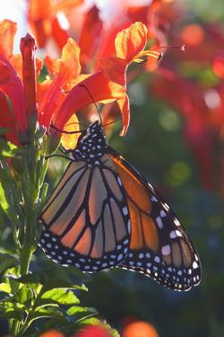 Monarch Butterfly Clings to a Red-Flowered Plant
