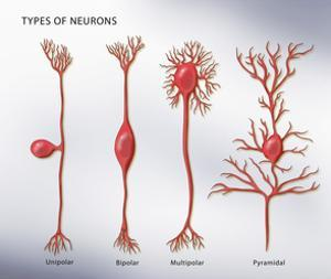 4 Types of Neurons, Illustration by Monica Schroeder