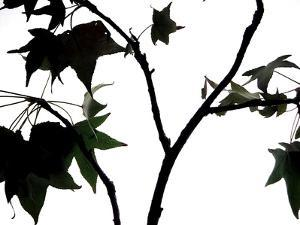 Maple Branch II by Monika Burkhart