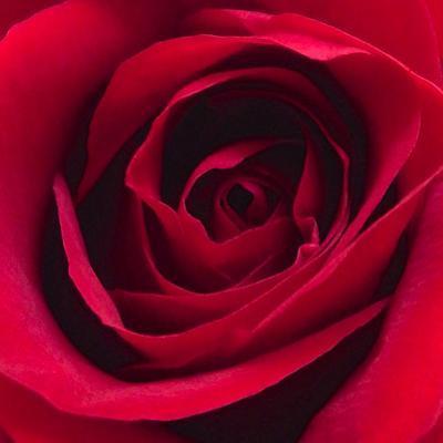 Red Rose I by Monika Burkhart
