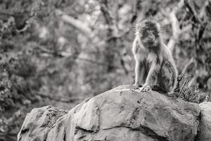 Monkey in the Central Park Zoo in NYC in Black and White
