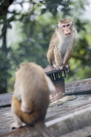 https://imgc.allpostersimages.com/img/posters/monkeys-royal-rock-temple-dambulla-sri-lanka-asia_u-L-PQ8V0T0.jpg?artPerspective=n