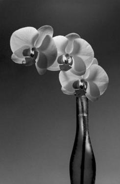 Phalaenopsis, 1998 by Montclair Valentine