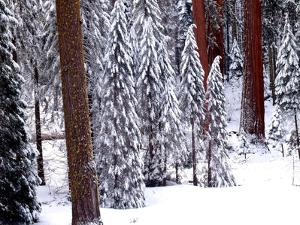 Pines in Winter, California '95 by Monte Nagler