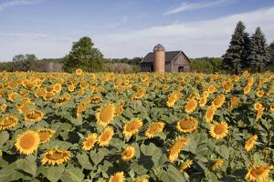 Sunflowers & Barn, Owosso, MI '10 by Monte Nagler