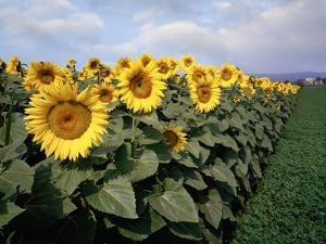 Sunflowers Sentinels, Rome, Italy 87 by Monte Nagler
