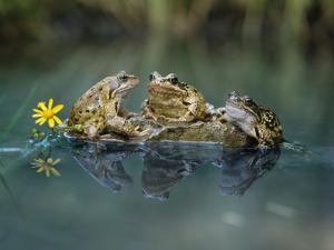 Three Frogs Sitting on Rock by moodboard