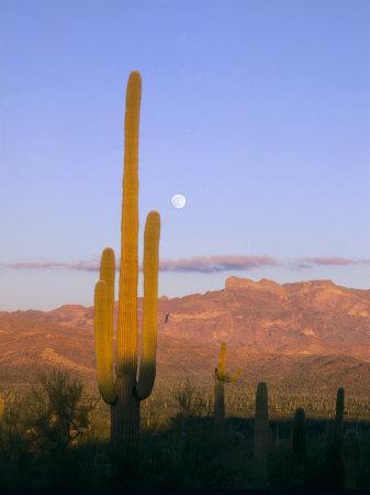 https://imgc.allpostersimages.com/img/posters/moonrise-over-saguaro-cactus-and-ajo-mountains-organ-pipe-national-monument-arizona-usa_u-L-P42KZD0.jpg?p=0
