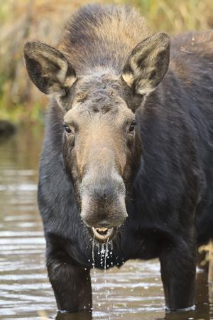 https://imgc.allpostersimages.com/img/posters/moose-alces-alces-cow-in-pond-breaks-from-filter-feeding-and-stares-at-camera_u-L-PQ8RGZ0.jpg?p=0