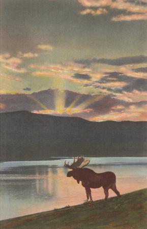 Moose at Sunset, Montana