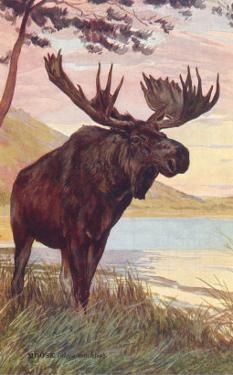 Moose by Lake