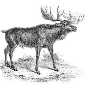 Moose Deer, 19th Century
