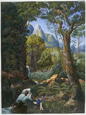 Morenia Poppigiana and Forest