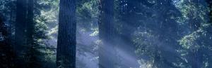 Morning Light and Fog, Redwood and Douglas Fir Trees, Redwood National Park, California, USA