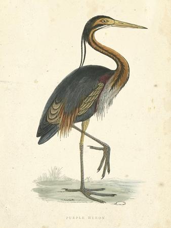 Vintage Purple Heron